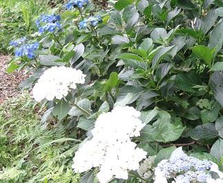 【日常の一コマ】生活介護事業「湘南鬼瓦」で紫陽花が咲きました
